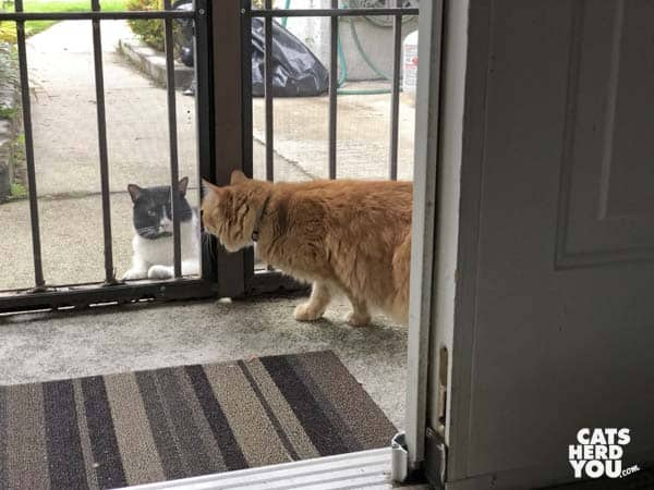orange tabby cat looks closely at tuxedo cat outside