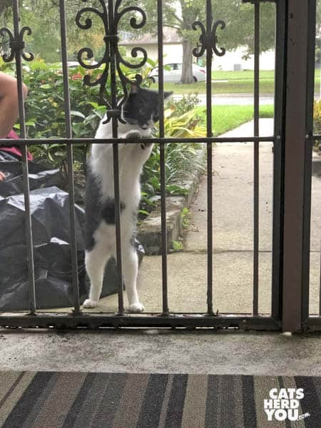 tuxedo cat outside looks in