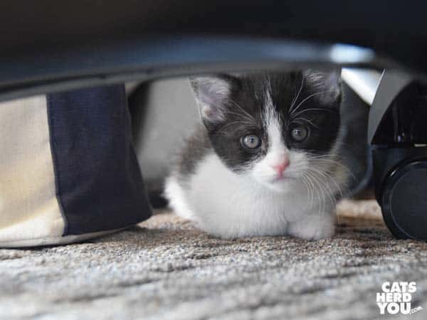 black and white tuxedo kitten peeks under something