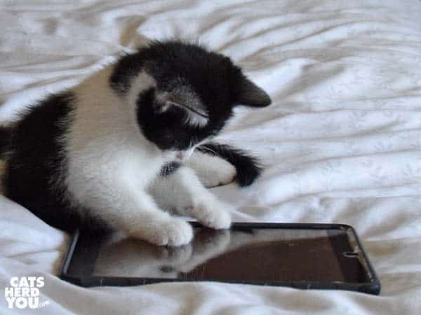 black and white tuxedo kitten plays with ipad