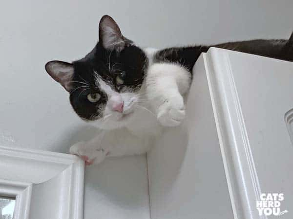 black and white tuxedo cat looks down from atop cabinet