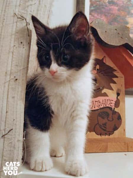 black and white tuxedo kitten sits