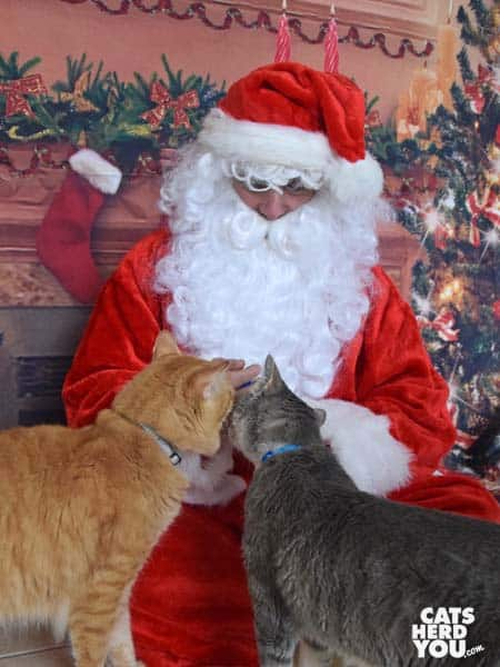 gray tabby cat and orange tabby cat take treats from Santa
