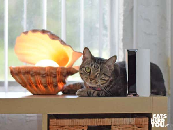 one-eyed brown tabby cat leans against web camera